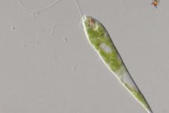 eutreptiella-eupharingia